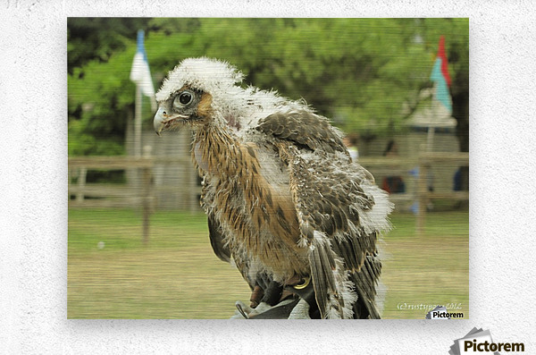 baby hawk1  Metal print