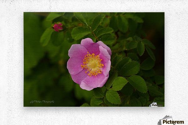 Nootka Rose  Metal print