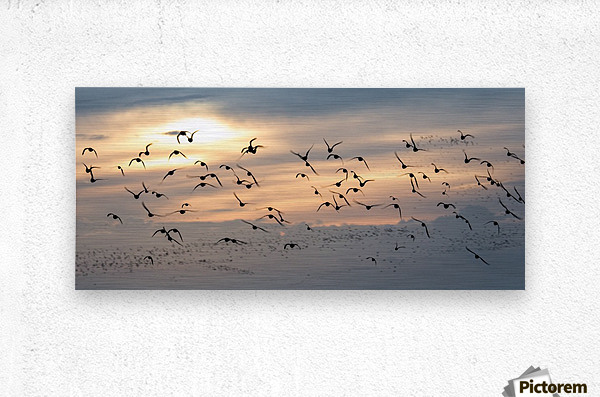 Coming home to roost  Metal print