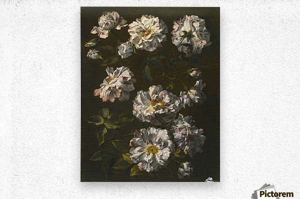 A study of striped white gallica roses  Metal print