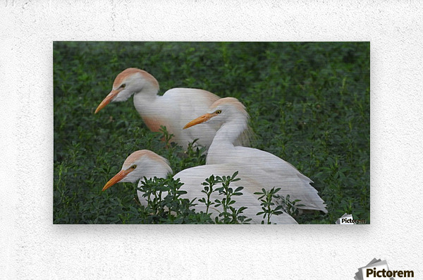 Cattle Egrets  Metal print