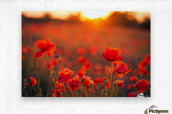 Beautiful Sunset poppy flowers  Metal print