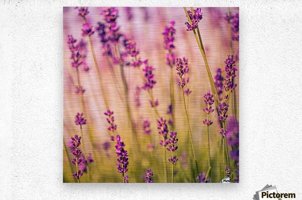 Beautiful Sunset lavender flowers  Metal print