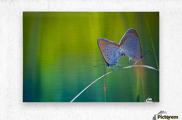 Butterfly summer background  Metal print