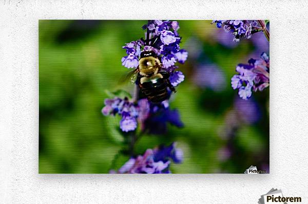 Bumbling Bee 2  Metal print
