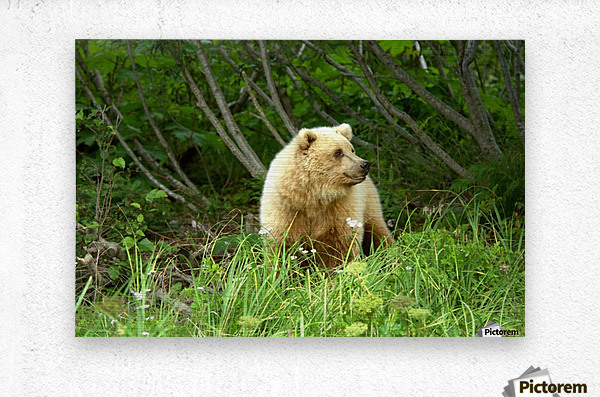 Two Year Old Grizzly  Metal print