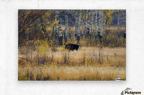 Early light in Gros Ventre  Metal print