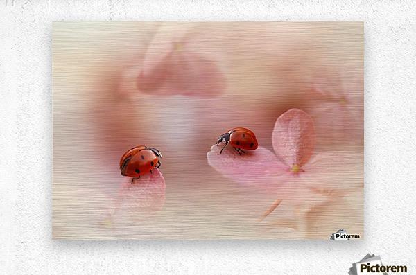 Ladybirds on pink hydrangea.  Metal print