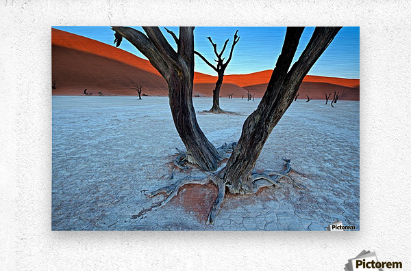 Ancient trees in the Vlei  Metal print
