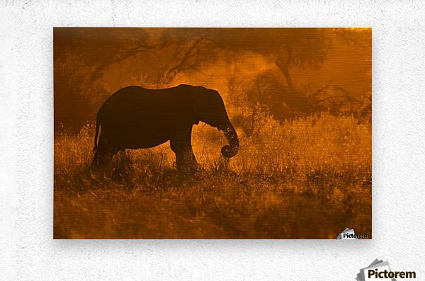Golden Elephant in Savute  Metal print