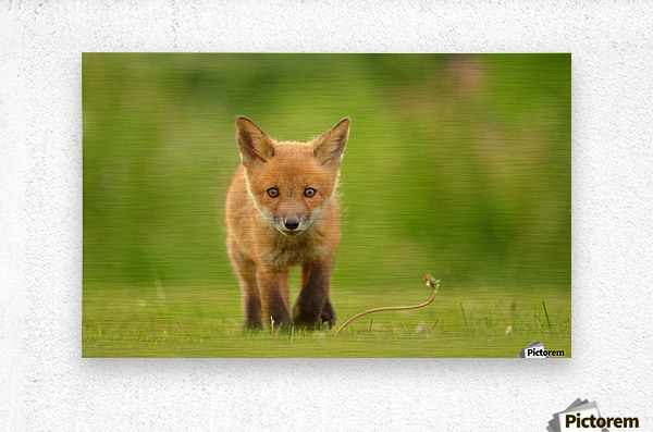 Baby Red Fox  Metal print