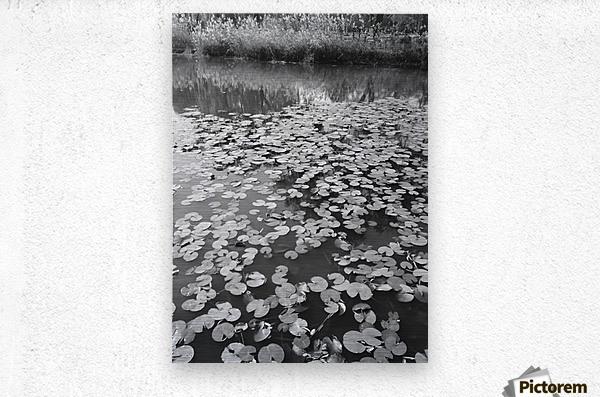 Weeping Lillies  Metal print