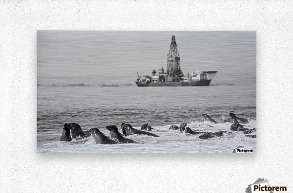 Seals by Oil Drill   Metal print