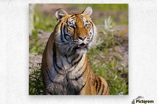 Tiger Watching  Metal print