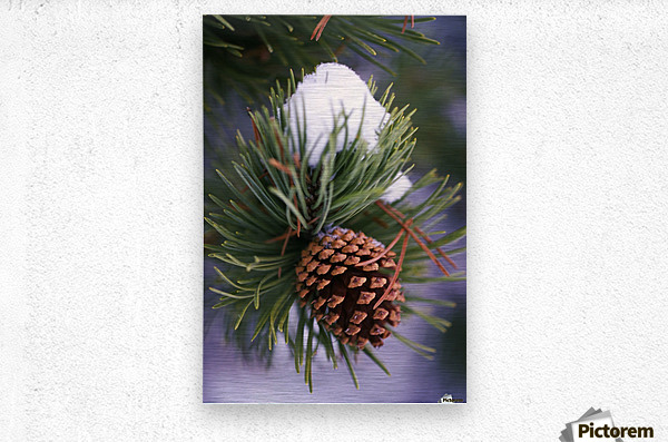 Early Snow On Pine Tree Branch With Pinecone  Metal print