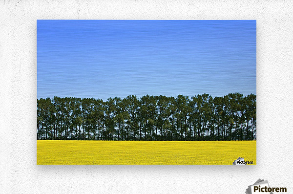 Canola Field And Trees  Metal print
