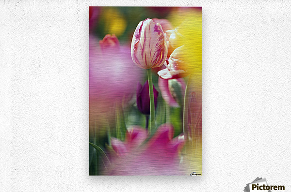 Tulip Flower  Metal print