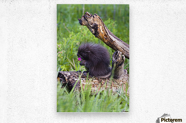 Porcupine Baby Eating Flower  Metal print