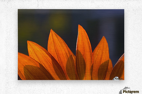 Sunflower Close-Up  Metal print