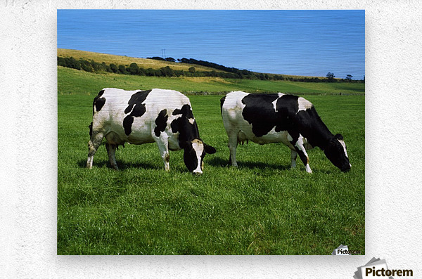 County Cork, Ireland, Dairy Cattle  Metal print
