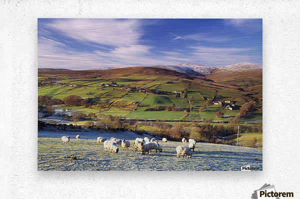 Sperrin Mountains, County Tyrone, Ireland, Sheep  Metal print