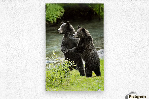 Two Grizzly Bears  Metal print