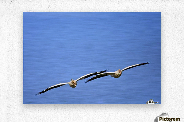 Two Pelicans In Flight  Metal print