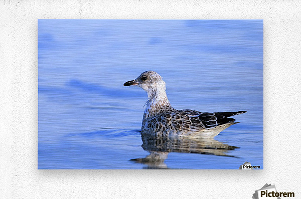 Young Gull Swimming  Metal print