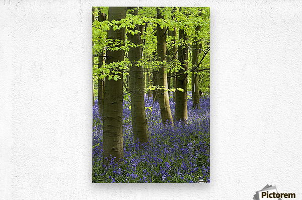 Bluebells In The Woods, Nottinghamshire, England  Metal print