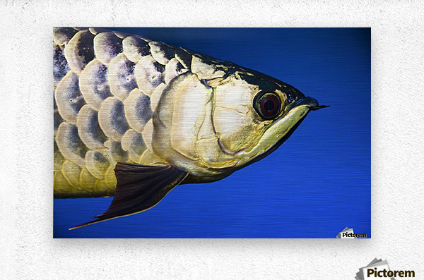 Closeup Of A Fish  Metal print