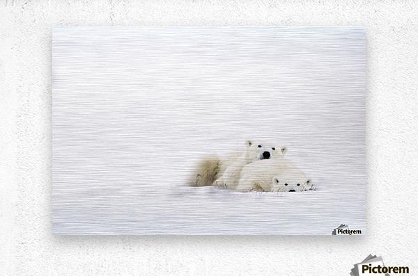 Two Polar Bears Snuggling  Metal print