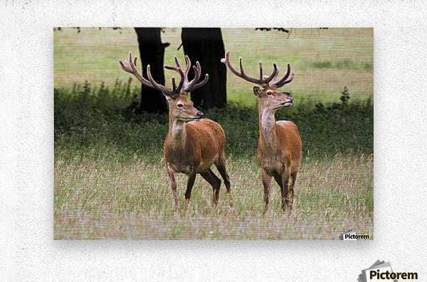 Elk In The Wild  Metal print