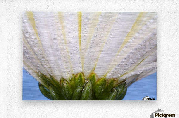 White Flower Head With Dew  Metal print