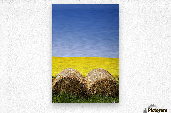 Hay Bales And Canola Field, North Yorkshire, England  Metal print