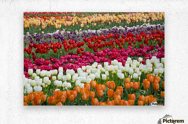 A Tulip Field  Metal print