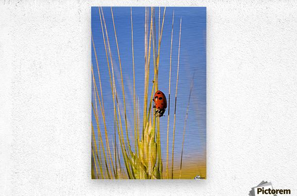Lady Bug On A Plant  Metal print