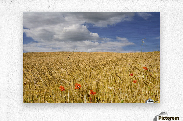 Wild Poppies In Wheat Field, North Yorkshire, England  Metal print