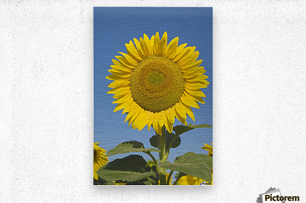 Sunflower (Helianthus Annuus)  Metal print