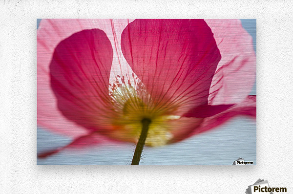 Pink Shirley Poppy  Metal print