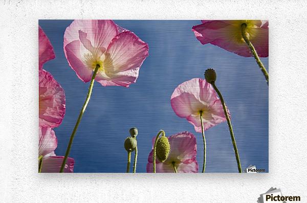 Shirley Poppies  Metal print