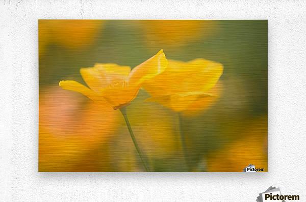 Yellow Poppy Flower, Mount Hood, Oregon, Usa  Metal print