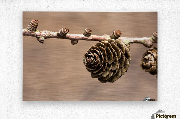 A Conifer Cone On A Tree Branch  Metal print