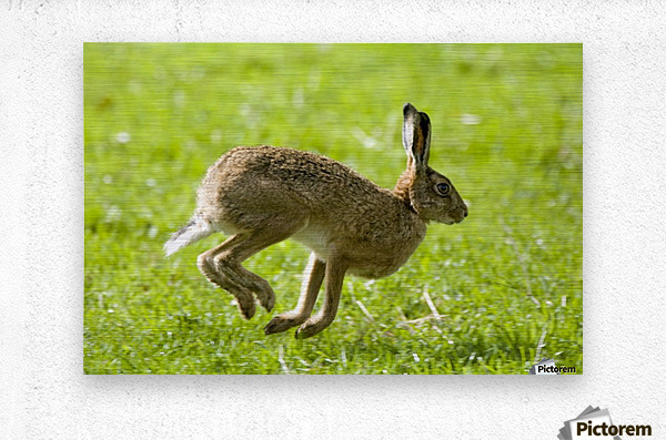 Hare Hopping In The Grass  Metal print