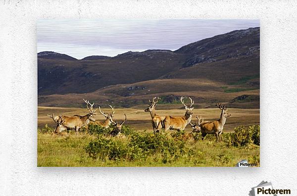 Island Of Islay, Scotland; Male Deer Roaming The Hills  Metal print