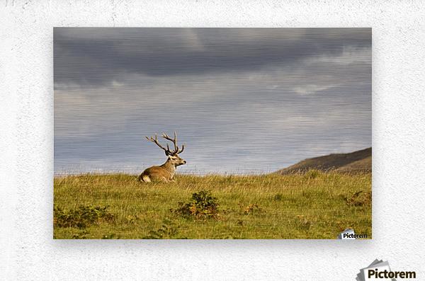 Island Of Islay, Scotland; Buck Resting On A Hill  Metal print