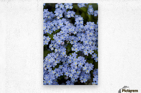 Victoria, British Columbia, Canada; Blooming Blue Flowers  Metal print