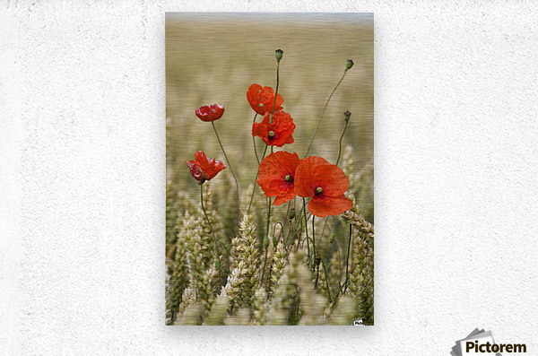 Wildflowers; Poppies In A Grain Field  Metal print