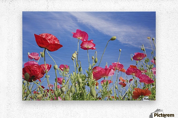 Red Flowers Against Blue Sky  Metal print