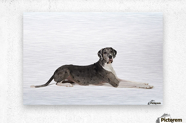 Great Dane Dog  Metal print