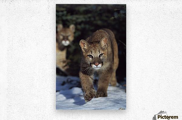 Mountain lion cub (Felis concolor) walking on snow toward camera, mother in background; Montana, Usa  Metal print
